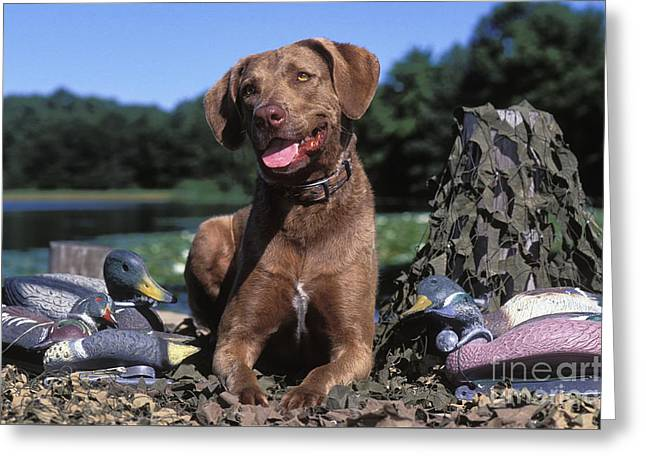 Chessie And Decoys - Fs000666 Greeting Card by Daniel Dempster