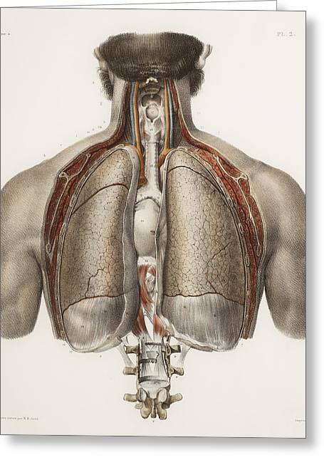 Vol Greeting Cards - Chest Anatomy, 19th Century Illustration Greeting Card by