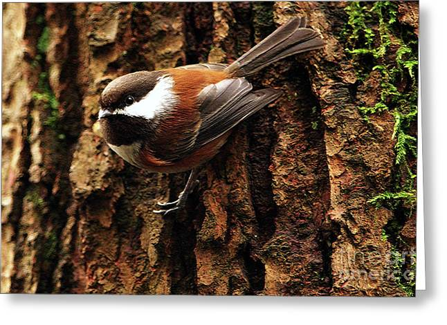 Bird On Tree Greeting Cards - Chestnut-backed Chickadee on Tree Trunk Greeting Card by Sharon  Talson