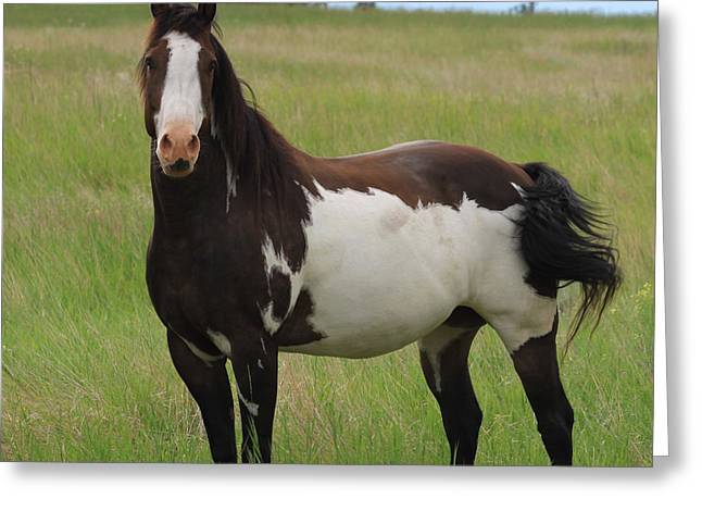 Quarter Horse Greeting Cards - Chestnut Overo Paint Stallion Greeting Card by Karon Melillo DeVega