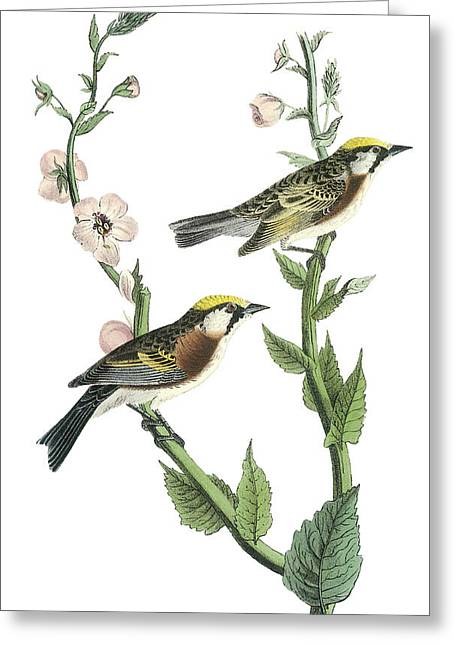 Ruse Greeting Cards - Chestnut-sided Warbler Greeting Card by John James Audubon