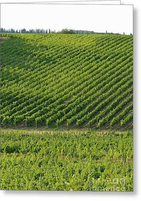 Chianti Greeting Cards - Chianti Vineyards Greeting Card by Sami Sarkis