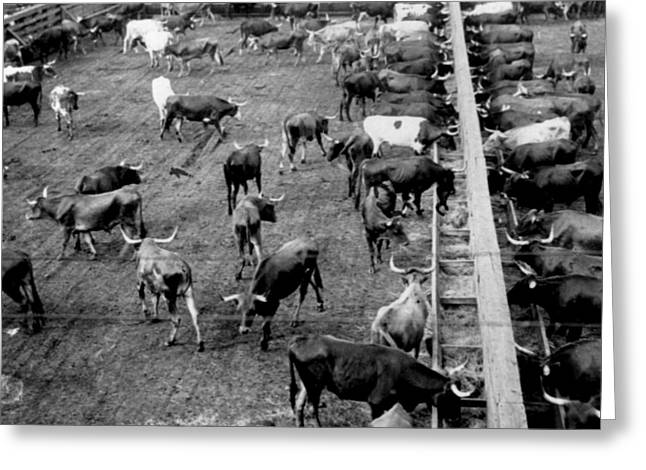 Yard Sale Greeting Cards - Chicago Stock Yards - c 1900 Greeting Card by International  Images