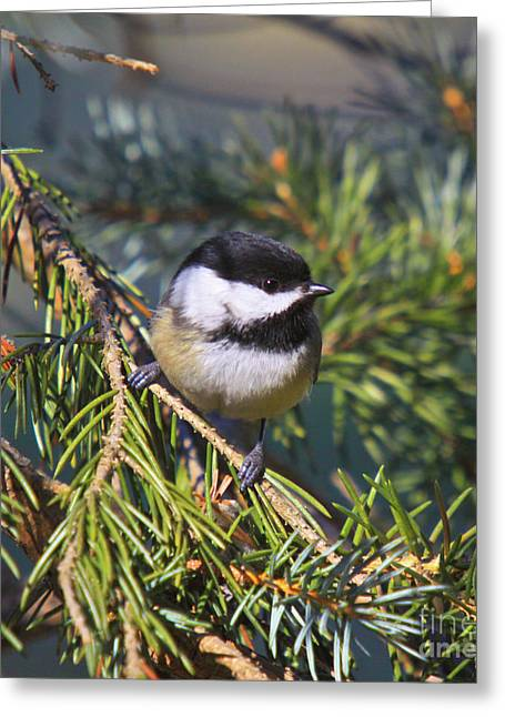 Winter Prints Greeting Cards - Chickadee-12 Greeting Card by Robert Pearson
