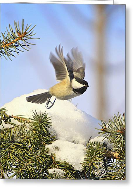 Winter Prints Greeting Cards - Chickadee-13 Greeting Card by Robert Pearson