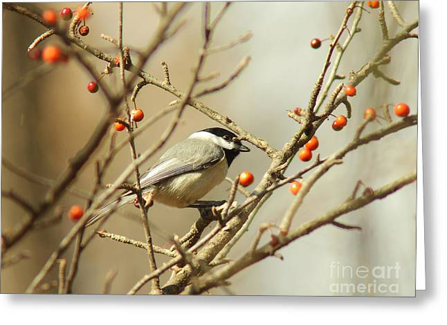 Black Berries Greeting Cards - Chickadee 2 of 2 Greeting Card by Robert Frederick