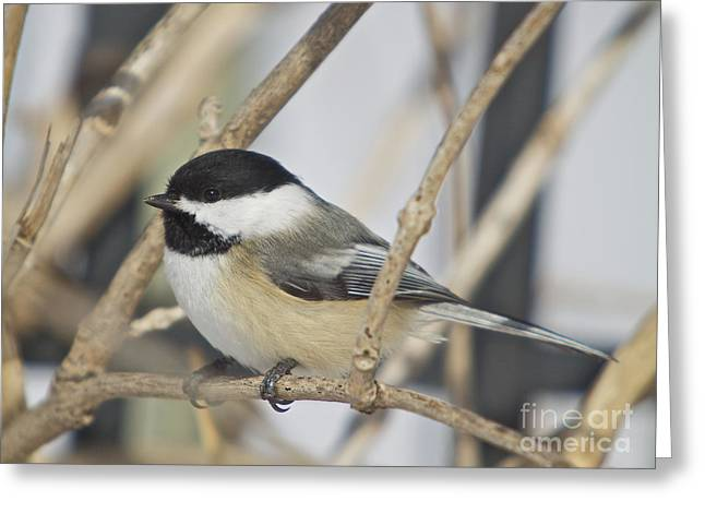 Black Berries Greeting Cards - Chickadee-5 Greeting Card by Robert Pearson