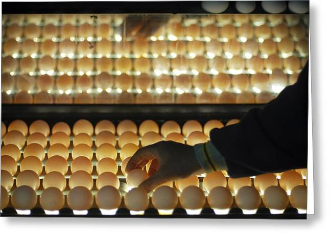 Qc Greeting Cards - Chicken Egg Inspection Line Greeting Card by Photostock-israel