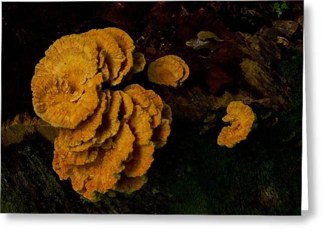 Fungi Greeting Cards - Chicken of Woods 1 Greeting Card by Douglas Barnett