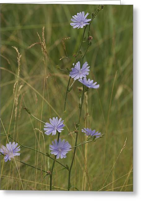 Delectable Greeting Cards - Chicory 2765 Greeting Card by Michael Peychich