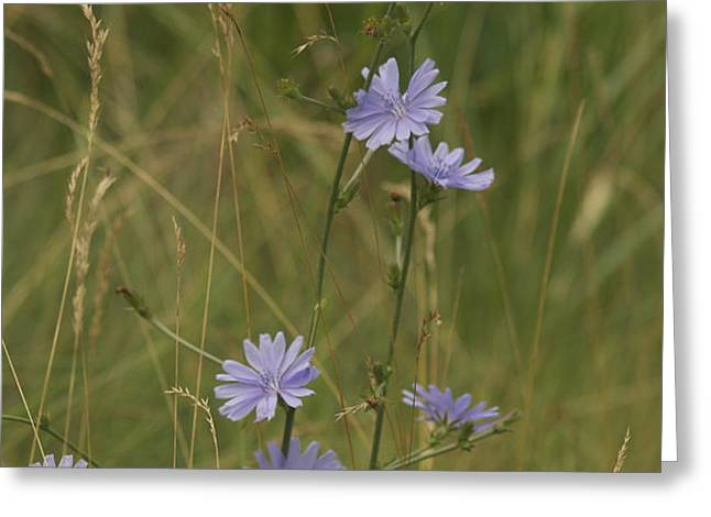 chicory 2765 Greeting Card by Michael Peychich