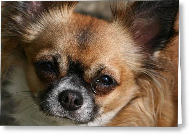 Puppies Pyrography Greeting Cards - Chihuahua Eyes Greeting Card by Valia Bradshaw