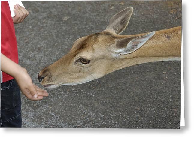 Dama Greeting Cards - Child feeding deer Greeting Card by Matthias Hauser