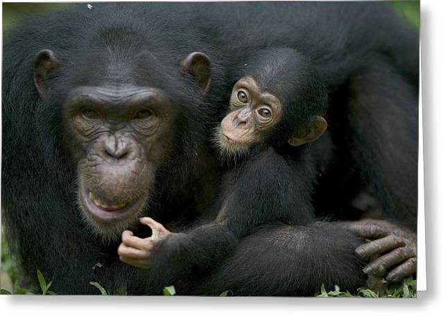 Cross River Greeting Cards - Chimpanzee Female Holding Infant Greeting Card by Cyril Ruoso