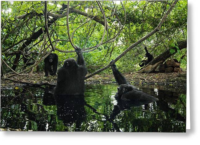 Senegal Greeting Cards - Chimpanzee Males Seek Out Pools Greeting Card by Frans Lanting