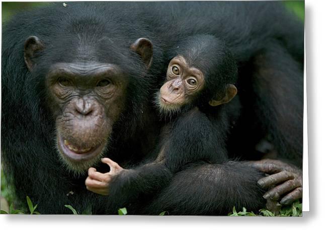 Cross River Greeting Cards - Chimpanzee Pan Troglodytes Adult Female Greeting Card by Cyril Ruoso