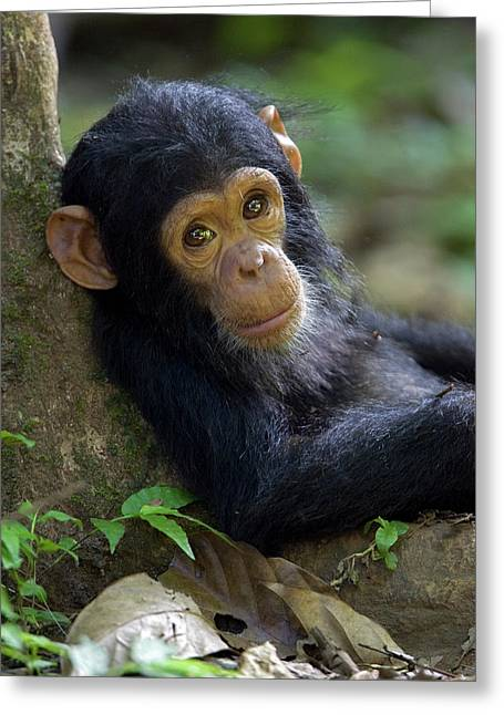 Animals and Earth - Greeting Cards - Chimpanzee Pan Troglodytes Baby Leaning Greeting Card by Ingo Arndt