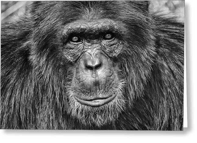 Greeting Cards - Chimpanzee Portrait 1 Greeting Card by Richard Matthews