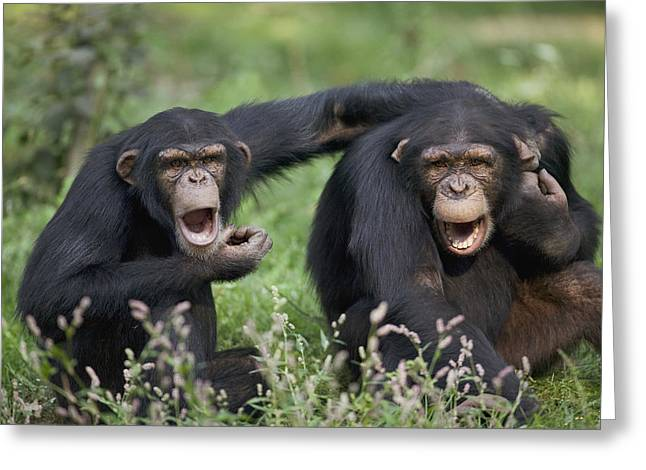 Vallee Greeting Cards - Chimpanzees Pan Troglodytes Calling Greeting Card by Cyril Ruoso