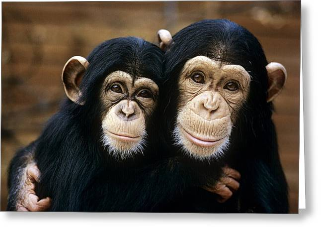Bonding Greeting Cards - Chimpanzees Greeting Card by Tony Craddock