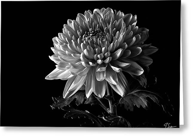 Flower Photos Greeting Cards - China Chrysanthemum in Black and White Greeting Card by Endre Balogh