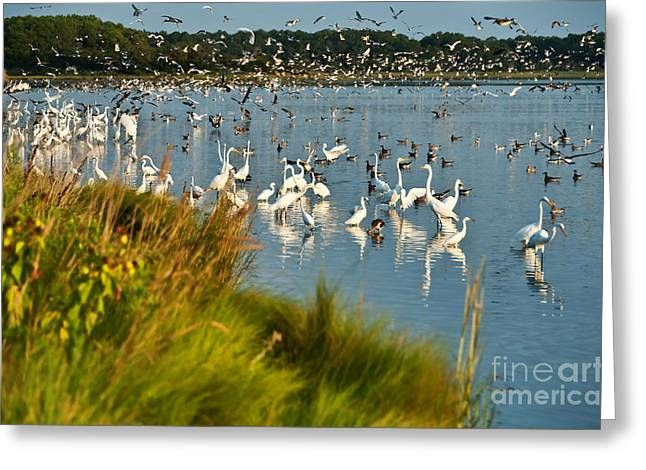 Ardea Greeting Cards - Chincateague Widlife Refuge Greeting Card by John Greim