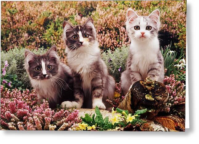 Chinchilla-cross Kittens Greeting Card by Jane Burton