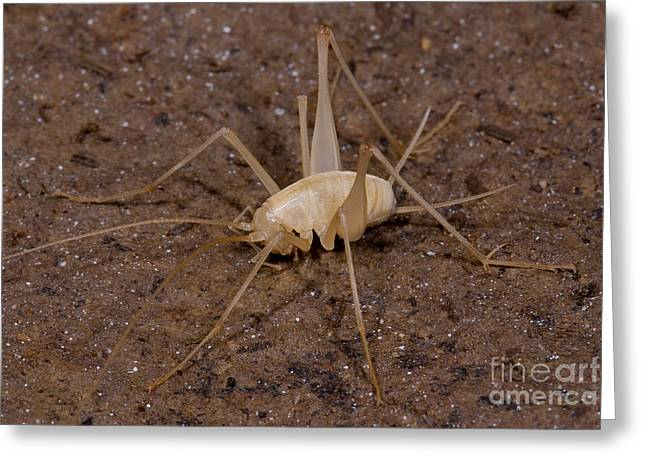Troglobitic Greeting Cards - Chinese Cave Cricket Greeting Card by Danté Fenolio