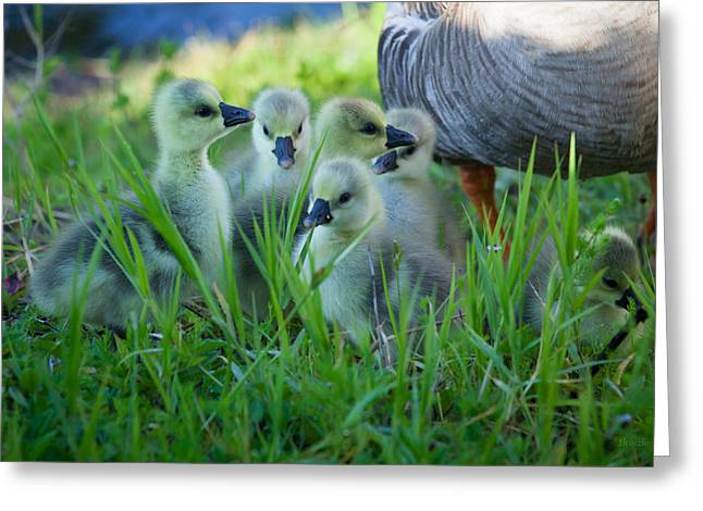 Chinese Newborn Greeting Cards - Chinese Goslings Greeting Card by Marx Broszio