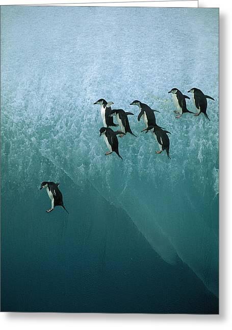 Ai Greeting Cards - Chinstrap Penguin Pygoscelis Antarctica Greeting Card by Jean-Paul Ferrero