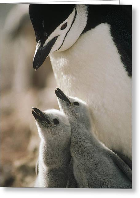 Best Sellers -  - Seabirds Greeting Cards - Chinstrap Penguin Pygoscelis Antarctica Greeting Card by Tui De Roy