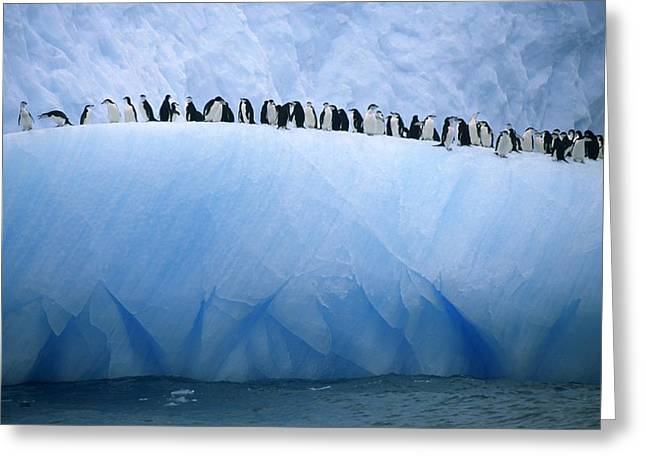 Chinstrap Penguins Lined Greeting Card by Ralph Lee Hopkins