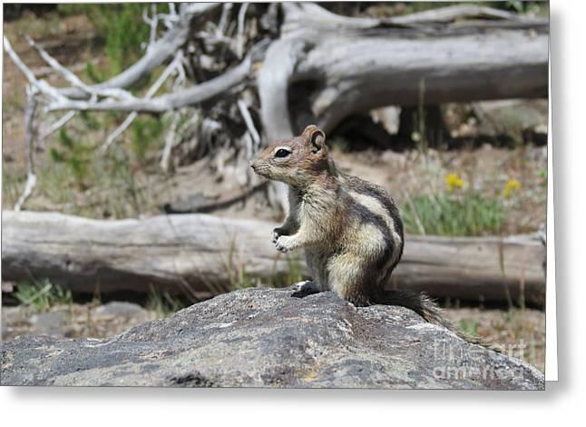 Ausra Greeting Cards - Chipmunk at Yellowstone Greeting Card by Ausra Paulauskaite