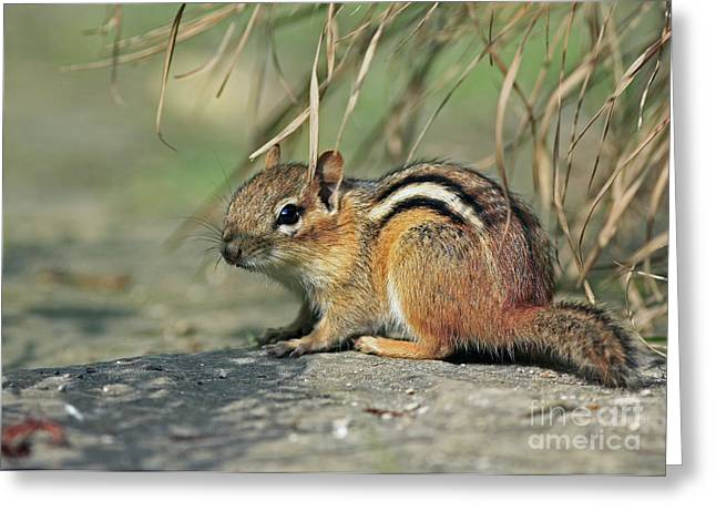 A Summer Evening Greeting Cards - Chipmunk on a Warm Summer Evening Greeting Card by Inspired Nature Photography By Shelley Myke