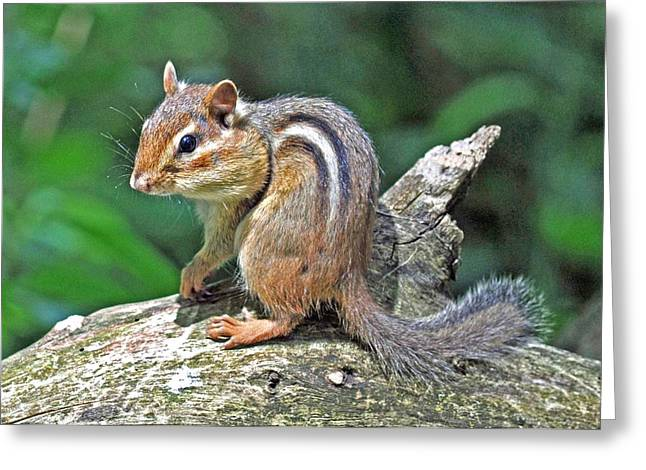 Greeting Card featuring the photograph Chipmunk by Rodney Campbell