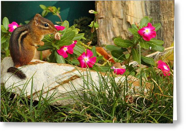 Impatiens Flowers Greeting Cards - Chipper Chipmunk Greeting Card by Andrew McInnes