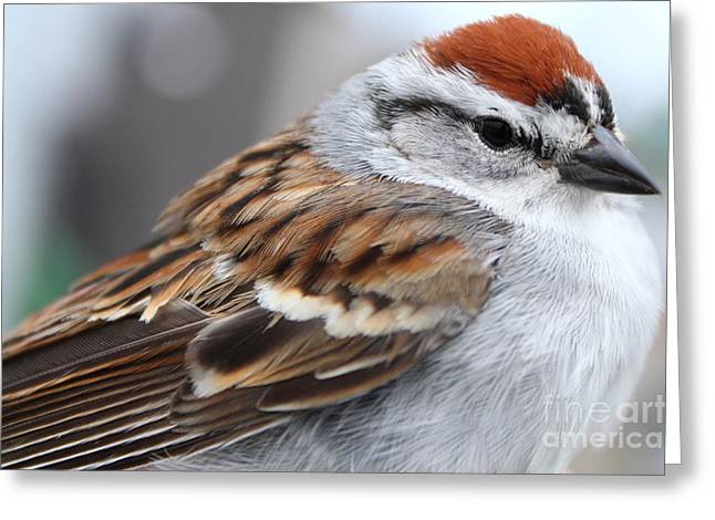 Chipping Sparrow Greeting Cards - Chipping Sparrow Portrait Greeting Card by Deanna Wright