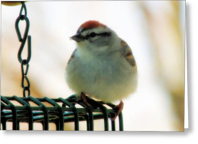 Chipping Sparrow Greeting Card by Scott Hovind