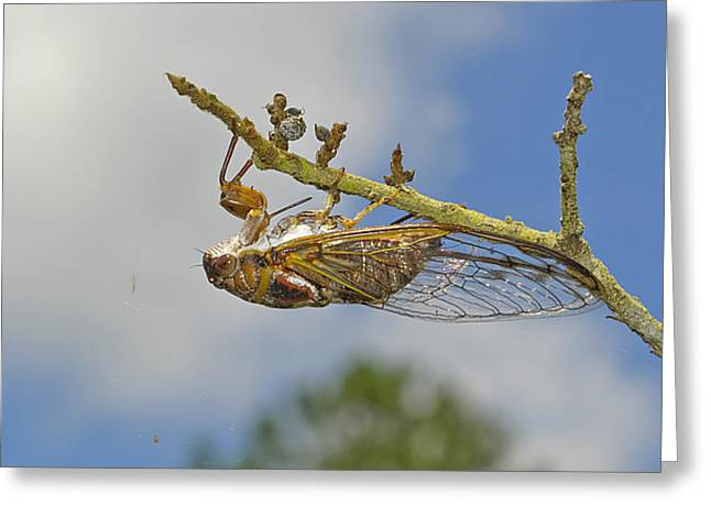 Cicada Greeting Cards - Chirrup Chirrup Greeting Card by Kenneth Albin