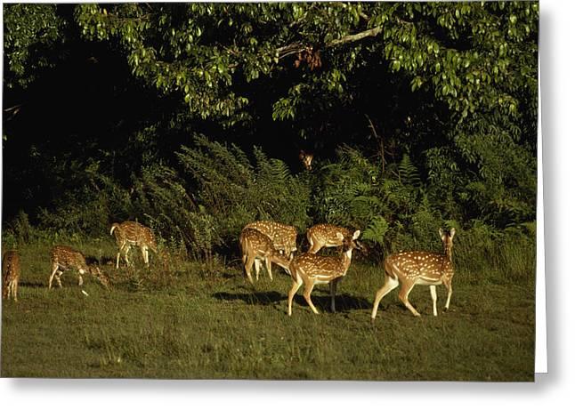 Axis Greeting Cards - Chital Deer Graze In Terai Jungle Greeting Card by Gordon Wiltsie