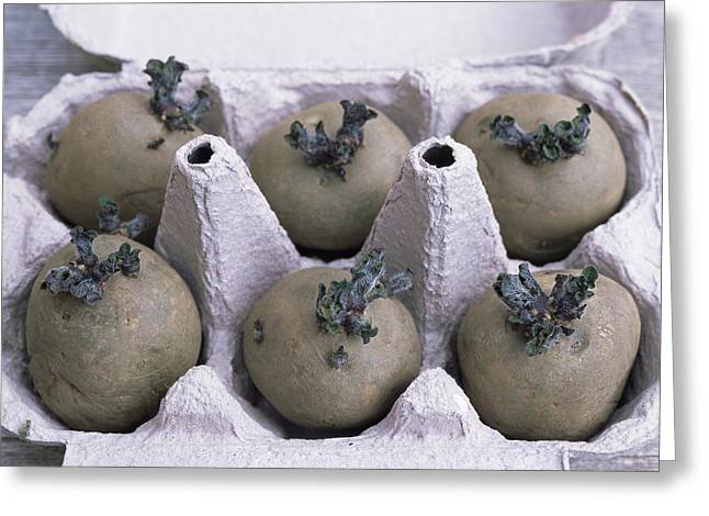 Germinate Greeting Cards - Chitted Potatoes In An Egg Box Greeting Card by Maxine Adcock