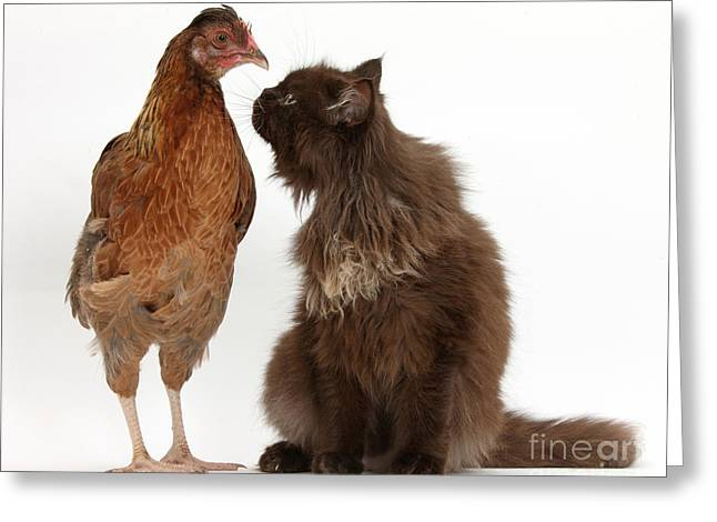 House Pet Greeting Cards - Chocolate Cat And Chicken Greeting Card by Mark Taylor