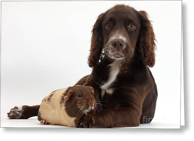 House Pet Greeting Cards - Chocolate Cocker Spaniel Pup Greeting Card by Mark Taylor