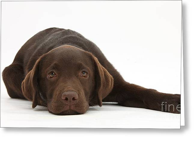 Chocolate Lab Greeting Cards - Chocolate Lab Pup Lying Down Greeting Card by Mark Taylor