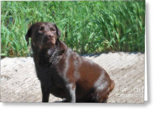 Arizona Greeting Cards - Chocolate Labrador - The Duck Dog III Greeting Card by Donna Van Vlack
