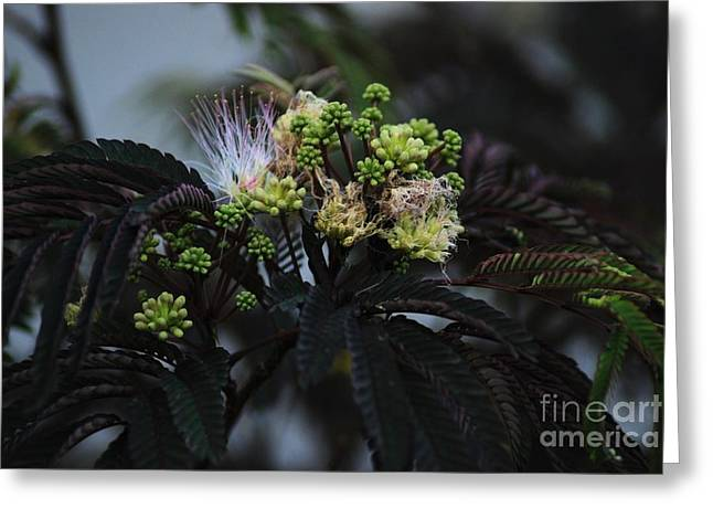 Pudica Greeting Cards - Chocolate Mimosa Tree Greeting Card by Mark McReynolds