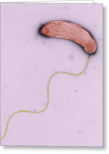 Microbiology Greeting Cards - Cholera Bacterium, Tem Greeting Card by Dr Gopal Murti