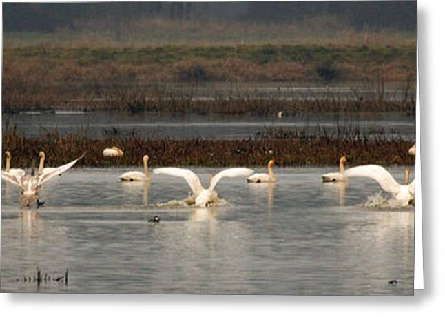 Swans... Greeting Cards - Chorus line of swans Greeting Card by Athena Mckinzie