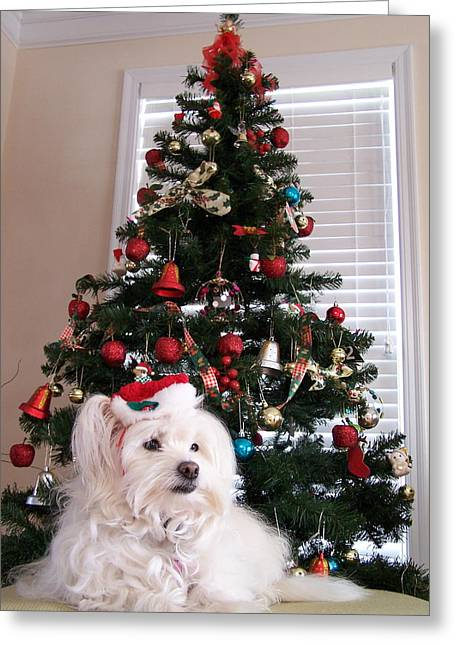 Maltese Dogs Greeting Cards - Christmas Card Dog Greeting Card by Vijay Sharon Govender