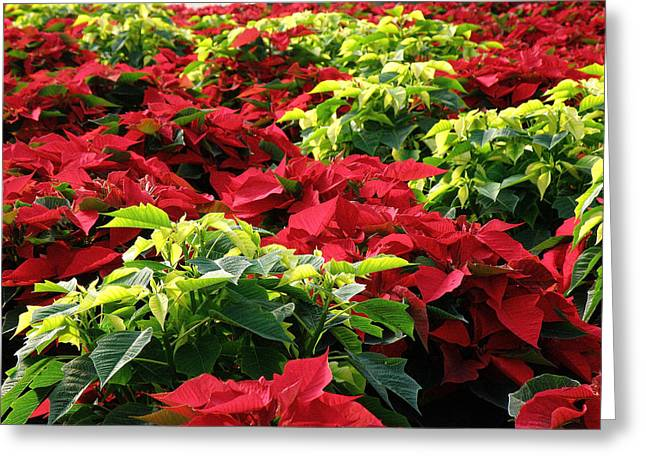 Christmas Color Greeting Card by FeVa  Fotos